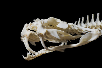 Gaboon Viper Skull showing double fang on right side