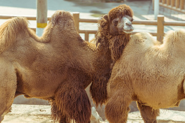 The hairy camel in the zoo
