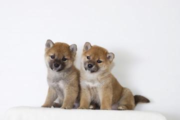 二匹の豆柴子犬