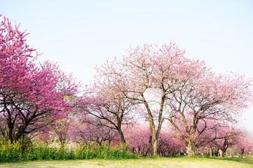 桃の花咲く公園