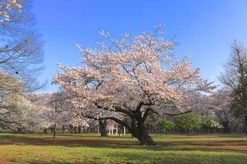 代々木公園の桜(東京都・渋谷区)