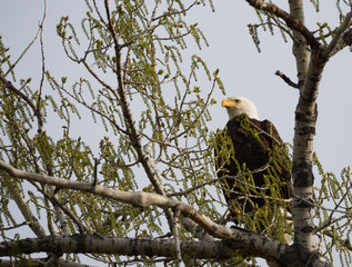 A Bald Eagle Perched on a Cottonwood Tree Facing Camera. Photographed from below.