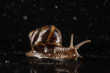 Garden snail and water rain drops on abstract black background