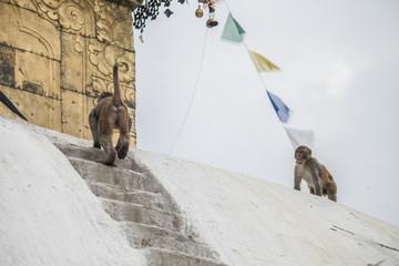 Affen Monkey Tempel
