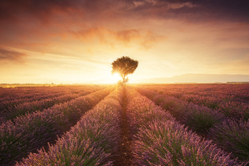 Lavender field in Provence (France) during sunset