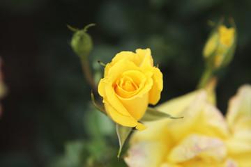 薔薇 ツル・スマイル