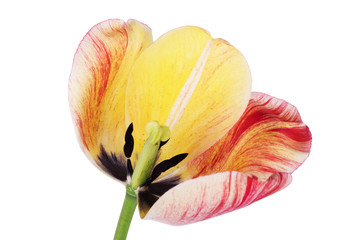 Yellow petals of the tulip on the white background