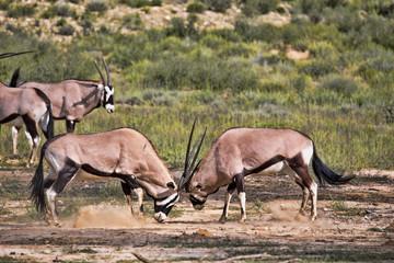 Gemsbok, Oryx gazella gazella, male combat, Kalahari, South Africa