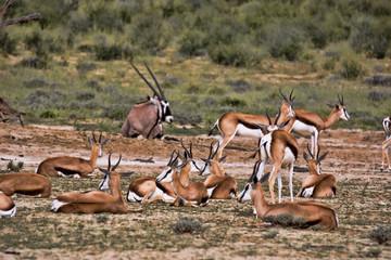Grazing herd Springbok, Antidorcas marsupialis, Kalahari, South Africa