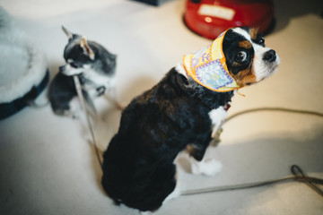 A dog wearing a scarf in her head looks back:Cavalier