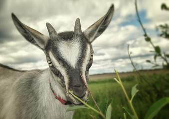 Portrait of a funny goat on the meadow