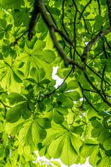 Kastanienbaum im Frühjahr