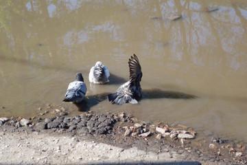 Три голубя в луже жарким летом