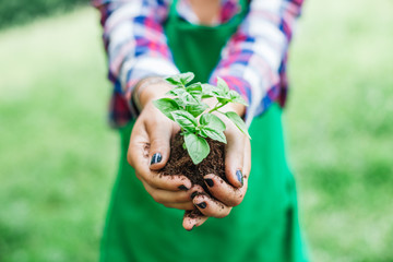 Woman holds in her hands small basil plant with the earth during gardening day