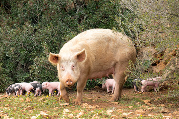 Little piglets 4