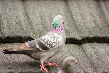 Standing colorful pigeon on the roof