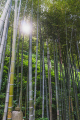Bamboo forest with a glimpse of light