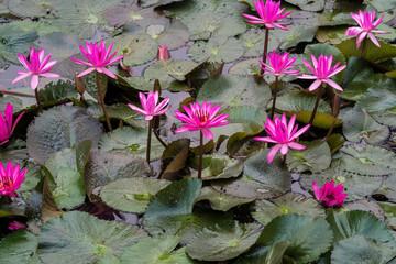 Laos - Luang Prabang - Lotusblumen im  Königspalast