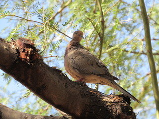 Mourning dove (Zenaida macroura) cleaning itself in a Palo Verde tree
