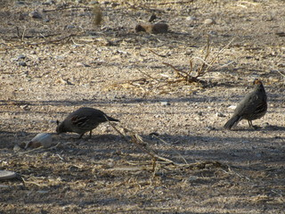 A male and a female Gambel's Quail (Callipepla gambelii) foraging for food in the Sonoran desert in Arizona