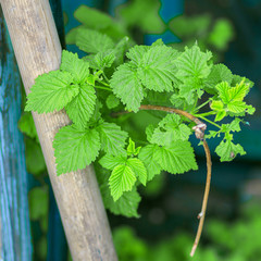 Gardening in the summer house in the spring and summer season. Raspberry Bush close-up