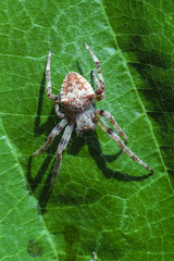 Spider sits on a tree leaf close up