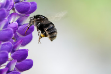 Bumblebee / humblebee pollination and collects nectar from a purple lupine. Beautiful picture with blurred background.