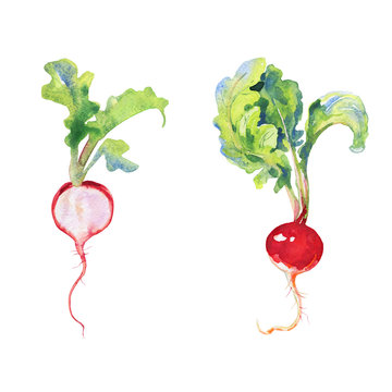 Watercolor radish with tops. Painting root crop on white background. Hand drawn vegetable illustration