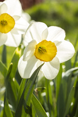White narcissus (Narcissus poeticus). Copy space