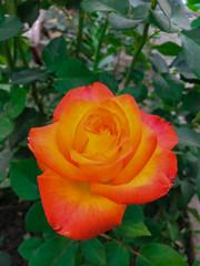 Single complex rose in a garden