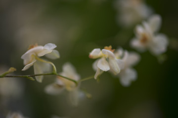 Spray of tiny blurred orchid flowers