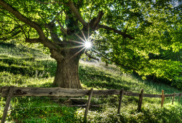 Wall Mural - summertime tree in lush green with sunlight shining through and a rusticv fence and road in the foreground