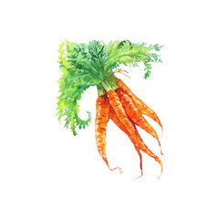 Watercolor carrot on white background. Hand drawn vegetable illustration. Painting root crop