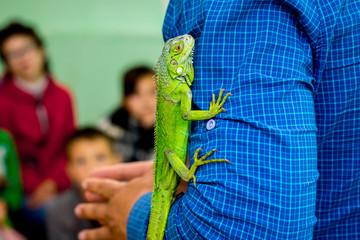 Wall Mural - Man shows children  green lizard. Lizard on  man's hand_