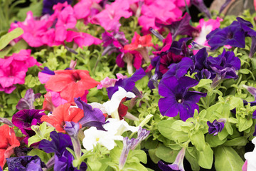 June is the season of petunia flowers. Image of colorful flowering petunias are on sale in a garden center. Concept:  gardening & English style.