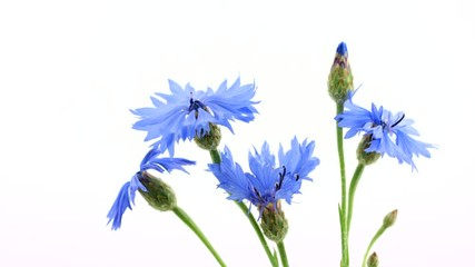 Klistermärke - Cornflowers. Wild blue flowers opening, blooming closeup over white background. Wildflowers. Timelapse. 3840X2160 4K UHD video footage