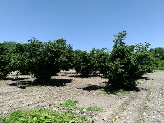 Hazelnut trees. Hazel cultivation from Azerbaijan agriculture. Unesco world heritage site