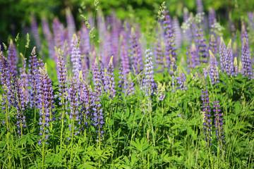 Field of purple flowers. Summer background