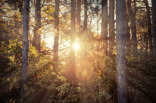 Autumn brown golden vintage forest trees in autumn with orange leaves and sun rays sunburst glade through center, flare, silhouette in morning countryside concept in West Virginia