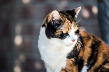 One senior angry mean old calico cat face closeup bokeh sitting outside porch on front yard by door entrance to house during sunny day, yellow eyes