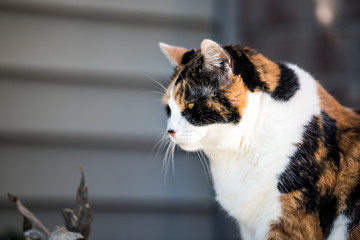 One senior angry mean old calico cat face side profile closeup sitting outside porch on front yard by door entrance to house during sunny day, yellow eyes