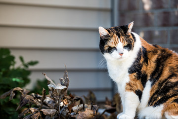 One senior angry mean old calico cat sitting outside porch on front yard by door entrance to house during sunny day, yellow eyes