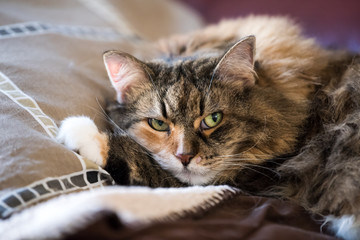Grumpy unhappy Maine Coon cat closeup lying on living room red couch in home with fluffy paw on pillow looking, open green eyes