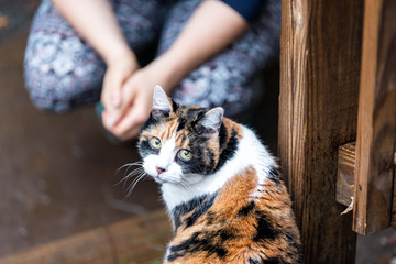 Calico cat in house backyard by wooden deck, wet wood territory by woman girl owner sitting looking up with cute adorable round big large eyes begging Wall mural