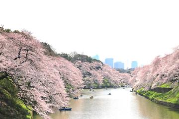 千鳥ケ淵公園の桜