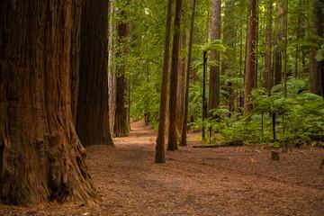 red wood forest landscape