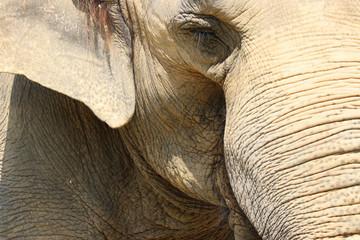 象のアップ