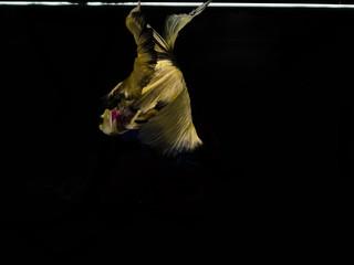 Light and shadows..siames fighting fish..betta spelndens fish.