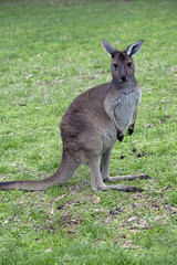 western grey kangaroo joey