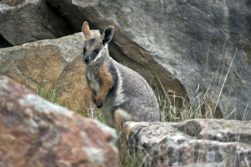 yellow footed rock wallaby joey